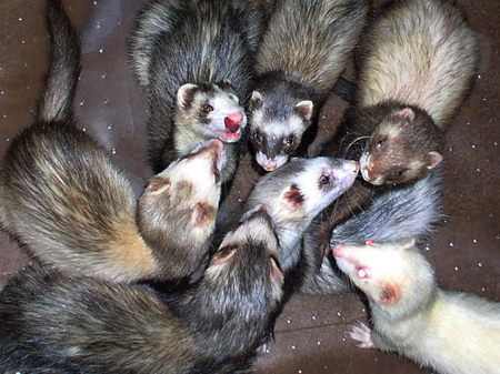 Caring for the ferrets in our rescue can be a massive responsibility.